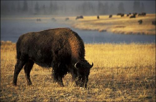 Bison Yellowstone