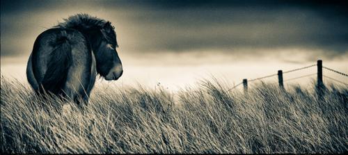 Northumberland Pony